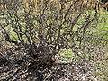 Corylaceae - Corylus Avellana 'Contorta' - Corkscrew Hazel - Europe & West Asia - Branches Closeup.JPG