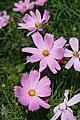 Cosmos bipinnatus Cav (17).jpg