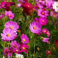 Cosmos flowers in Thailand 05.jpg