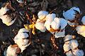 Cotton field kv39.jpg