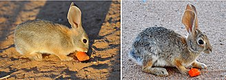 Desert cottontail - Male desert cottontail at 8 weeks, and the same specimen at 16 months of age