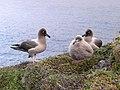 Couple et poussin Phoebetria palpebrata(îles Crozet).jpg