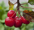 Crab apples (4125499571).jpg
