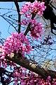 Crab tree 4 (6982956013).jpg
