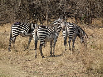 Crawshay's zebra - Equus quagga crawshayi in South Luangwa National Park, Zambia