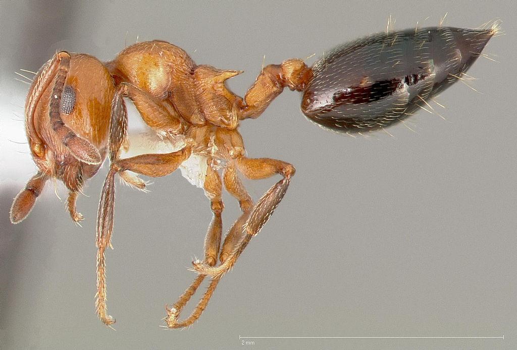 Crematogaster hespera / acrobat ant