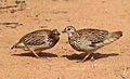 Crested Francolin, Dendroperdix sephaena at Borakalalo National Park, South Africa (9937719546).jpg