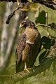 Crested serpent eagle (Spilornis cheela) 8419.jpg