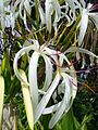 Crinum asiaticum.jpg