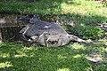 Crocodile White (33157651).jpeg