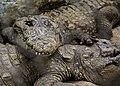 Crocodile reserve, Hogenekkal falls, Tamil Nadu.jpg