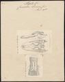 Crocodilus lucius - 1700-1880 - Print - Iconographia Zoologica - Special Collections University of Amsterdam - UBA01 IZ12200003.tif