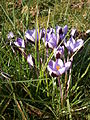 Crocus minimus clump 01.JPG