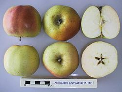 Cross section of Adersleber Calville, National Fruit Collection (acc. 1947-457).jpg