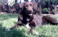 Crossbred dog Stabyhoun Labrador.png