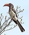 Crowned hornbill, Tockus alboterminatus, at Ndumo Nature Reserve, KwaZulu-Natal, South Africa (35862104085).jpg