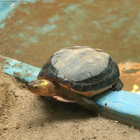 Turtle by Daiju Azuma Attribution-ShareAlike 2.5 Generic (CC BY-SA 2.5)