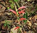 Cuphea sp. ? Lythraceae (28155059987).jpg