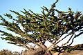 Cupressus macrocarpa Carmel Bay 1.jpg