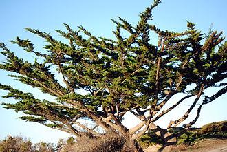 Hesperocyparis - Hesperocyparis macrocarpa, Monterey cypress
