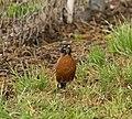 Curious Robin (108223381).jpeg