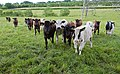 Curious bullocks on the Pilgrim's Trail near Tangier Farm, Bishop's Waltham - geograph.org.uk - 842913.jpg