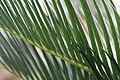 Cycas revoluta 12zz.jpg