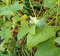 Cyclanthera explodens Cyclanthera brachystachya HabitusFlowerFruits BotGardBln0906b.jpg