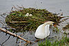 Cygnus olor, nests with eggs, Höckerschwan mit Nest 1.JPG