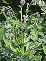 Cynoglossum officinale - Flickr - peganum.jpg