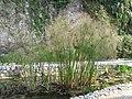 Cyperus alternifolius (Maria Serena).jpg