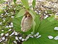 Cypripedium japonicum2.jpg
