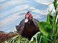 Czarny kaczor - panoramio.jpg