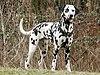 Dalmatiner 2.jpg