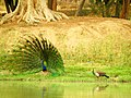 Dancing peacock for attract peahen.jpg