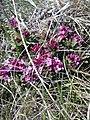Daphne cneorum (Thymelaeaceae) 03.jpg