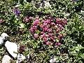 Daphne cneorum 6.jpg