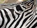 Darica zebra 00815.JPG