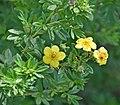 Dasiphora fruticosa in Jardin botanique de la Charme 02.jpg
