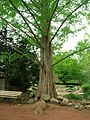 Dawn Redwood Tree, Elizabeth Park, West Hartford, CT - May 12, 2015.jpg