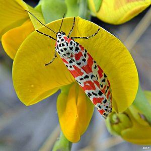 Utetheisa ornatrix - On rattlebox blossom (Crotalaria sp.)