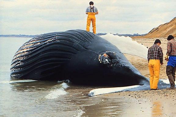 Dead whale NOAA