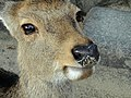 Deer in Miyajima - DSC02153.JPG