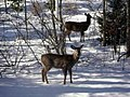 Deer in snow odocoileus virginianus.jpg