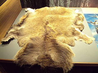 Buckskin (leather) - A deer skin at the Kelvingrove Art Gallery and Museum, Glasgow, Scotland