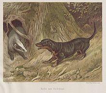 Illustration of dachshund baying a European badger