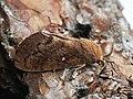 Dendrolimus pini ♂ - Pine-tree lappet (male) - Сосновый шелкопряд (самец) (42987672785).jpg