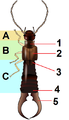 Dermaptera body planB.png