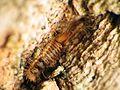 Dermestid Beetle Larva - Flickr - treegrow (1).jpg