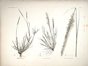Sporobolus spicatus - Sporobolus spicatus  (plant on left side)